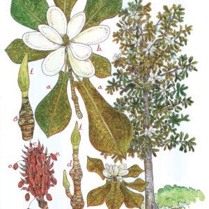 Tree Print- Magnolia pyramidata – Pyramid Magnolia