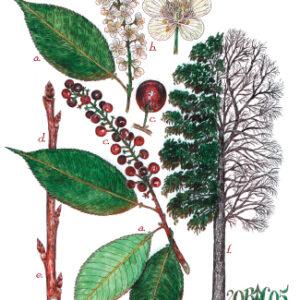 Tree Print- Prunus serotina – Blackcherry