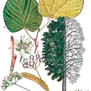 Tree Print- Tilia americana – American Basswood