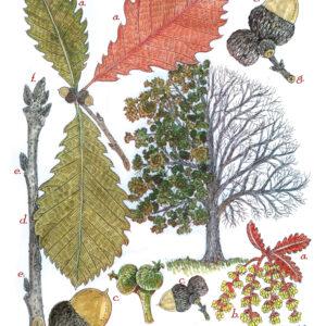 Tree Print- Quercus michauxii – Swamp Chestnut Oak