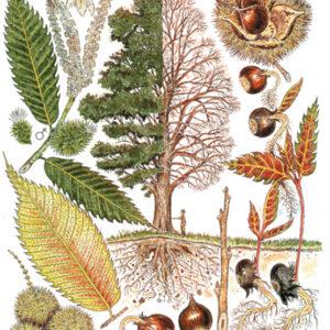 Tree Print-Castanea dentata – American Chestnut