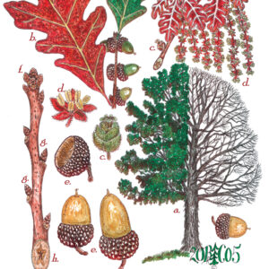 Tree Print- Quercus alba – White Oak