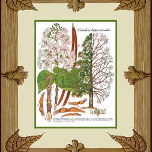 Framed Print – Southern Catalpa