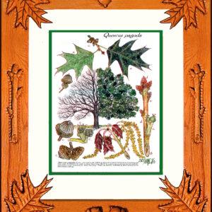 Framed Print – Cherrybark Oak