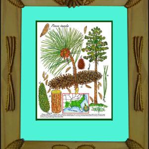 Framed Print – Loblolly Pine