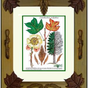 Framed Print – Tulip tree