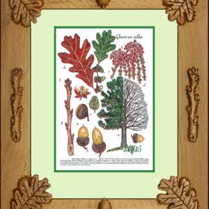 Framed Print – White Oak